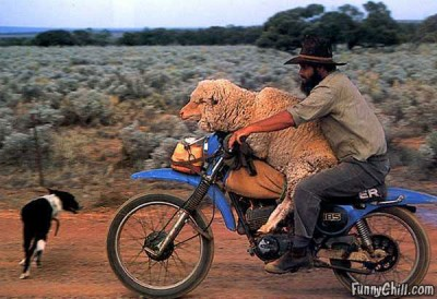 sheep-on-motorcycle
